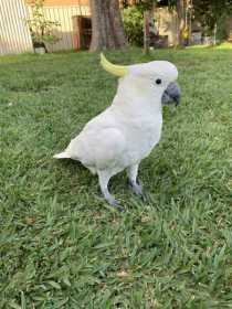 Lost Cockatoo