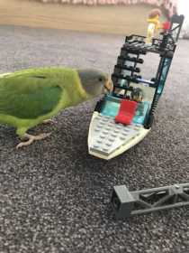 Lost Plum-Headed Parakeet