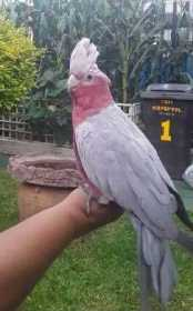 Lost Galah Cockatoo
