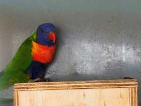 Lost Lory / Lorikeet
