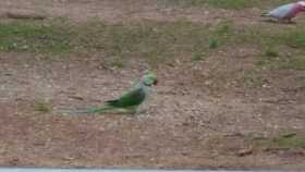 Sighting Alexandrine