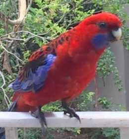 Sighting Rosella