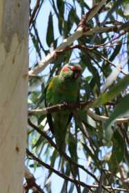 Sighting Lory / Lorikeet