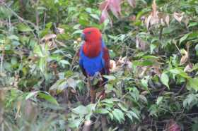 Sighting Eclectus