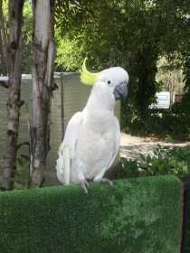 Sighting Cockatoo