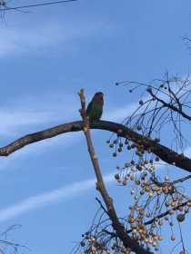 Sighting Lovebird