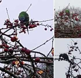 Sighting Derbyan Parakeet