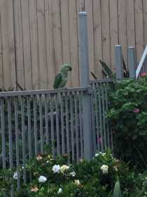 Sighting African Ringneck Parakeet